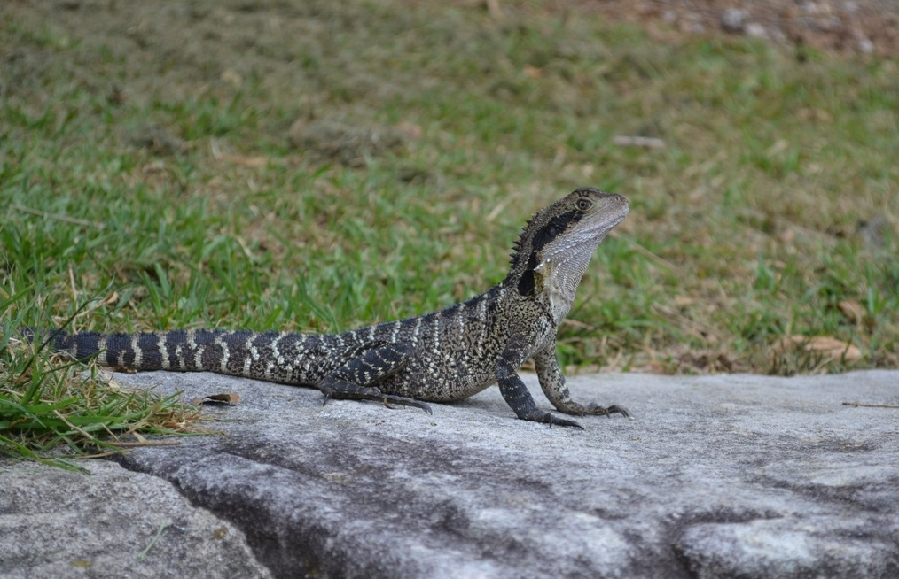 Australian waterdragon Manly